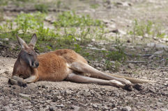 Chairwarmer. Shot of a sleeping kangaroo stock image