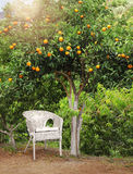 Chaise en osier blanche sous l'arbre fruitier orange Image stock