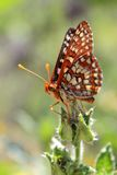 Chalcedon Checkerspot Butterfly on Leaf. Closeup of a Chalcedon Checkerspot Butterfly on a flower Royalty Free Stock Images