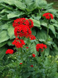 Chalcedonica-της μάλτα-διαγώνιο λουλούδι Lychnis στοκ εικόνες
