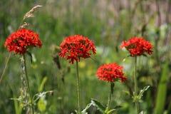 Chalcedonica de Lichnis no jardim Fotos de Stock Royalty Free