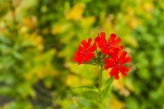 Chalcedonica de Lychnis - fleur Photo stock