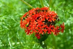 chalcedonica lychnis 库存照片