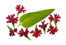 Chalcedonica pressionado e secado dos lychnis das flores isolado Imagem de Stock