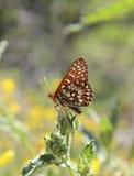 Chalcedonu Checkerspot motyl na kwiatu pączku Obrazy Stock