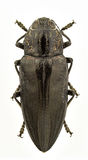 Chalcophora detrita Stock Image