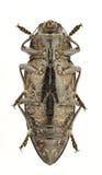 Chalcophora detrita Royalty Free Stock Images