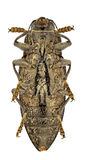 Chalcophora detrita Royalty Free Stock Image