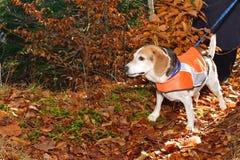 Chaleco de la seguridad del beagle que lleva Imágenes de archivo libres de regalías