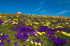 Chalet della montagna su tappeto dei fiori selvaggi Fotografia Stock
