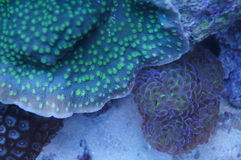 Chalice and Euphyllia coral. A detail of a chalice and euphyllia coral underwater in the sea stock images