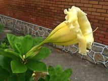Chalice vine - yellow trumpet flower Stock Photography