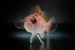 Chalk Bass Fish Royalty Free Stock Image