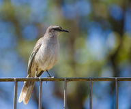 Chalk-browed Mockingbird. A chalk-browed mocking bird standing on an iron fence, with blurred foliage and sky as background Royalty Free Stock Photo