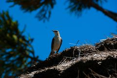 Chalk browed mockingbird looking around royalty free stock image