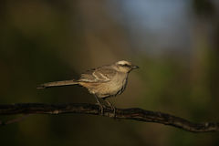 Chalk-browed mockingbird, Mimus saturninus, Royalty Free Stock Photography