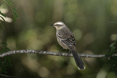 Chalk-browed mockingbird, Mimus saturninus Royalty Free Stock Photography
