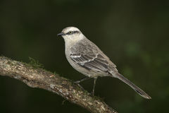 Chalk-browed mockingbird, Mimus saturninus Stock Photography