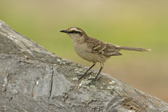 Chalk-browed mockingbird, Mimus saturninus Royalty Free Stock Photos