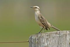 Chalk-browed mockingbird, Mimus saturninus Stock Images