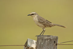 Chalk-browed mockingbird, Mimus saturninus Stock Image