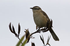 Chalk-browed Mockingbird sitting on a branch Royalty Free Stock Images