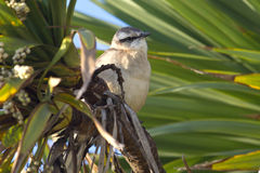 Chalk-browed Mockingbird sitting among the green Stock Photo