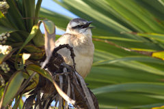 Chalk-browed Mockingbird sitting among the green branches with o Stock Images