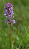 Chalk fragrant orchid Stock Image