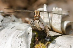 Chalk-fronted Corporal Dragonfly Royalty Free Stock Photography