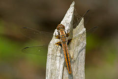 Chalk-fronted Corporal Dragonfly Royalty Free Stock Photos