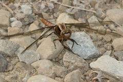 Chalk-fronted Corporal Dragonfly Stock Images