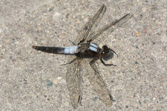 Chalk-fronted Corporal Dragonfly Royalty Free Stock Photo