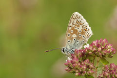 A Chalk Hill Blue Butterfly Polyommatus coridon nectaring on a flower. A  pretty Chalk Hill Blue Butterfly Polyommatus coridon nectaring on a flower Royalty Free Stock Photos
