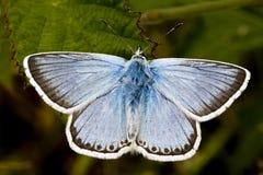 Chalk-hill Blue, Lysandra coridon Stock Images