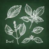 Chalk sketch of basil Royalty Free Stock Photos