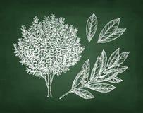 Chalk sketch of bay laurel Stock Images
