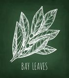 Chalk sketch of bay leaves. Stock Photo