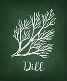 Chalk sketch of dill. On blackboard background. Hand drawn vector illustration. Retro style Royalty Free Stock Photography