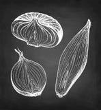 Chalk sketch of onion. On blackboard background. Hand drawn vector illustration. Retro style royalty free illustration