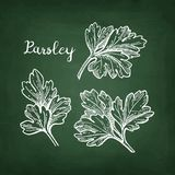 Chalk sketch of parsley Royalty Free Stock Images