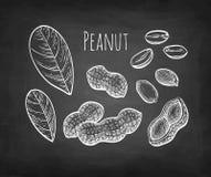 Chalk sketch of peanut. Peanut set. Chalk sketch on blackboard background. Hand drawn vector illustration. Retro style royalty free illustration