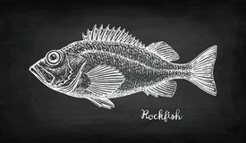 Chalk sketch of rockfish. Chalk sketch of rockfish on blackboard background. Hand drawn vector illustration of redfish. Retro style Royalty Free Stock Photography
