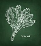 Chalk sketch of spinach. Royalty Free Stock Images