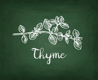 Chalk sketch of thyme Stock Image