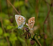 Chalkhill Blue Butterflies Mating Stock Photography