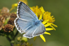Chalkhill Blue Butterfly Royalty Free Stock Photography