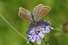 Chalkhill Blue Butterfly royalty free stock photo