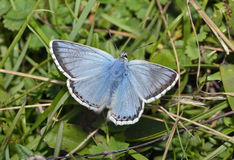 Chalkhill Blue Stock Photos