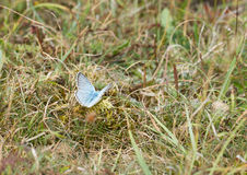Chalkhill blue, Lysander coridon Stock Photos